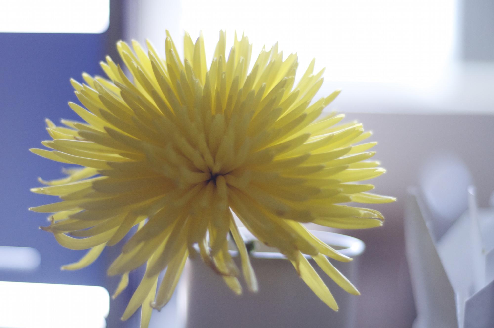 Dahlia flower. © C.T.Z. Ejanda