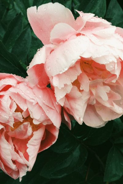 two pink roses on green leaves