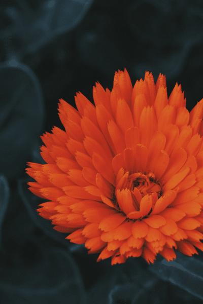 orange spider mum
