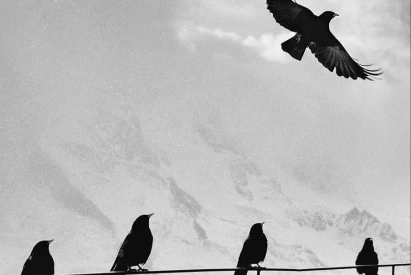 black birds on fence while one flies away