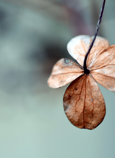 dying four leaf clover