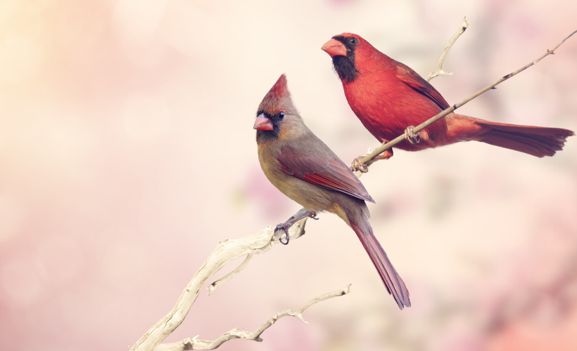 two cardinals on a branch