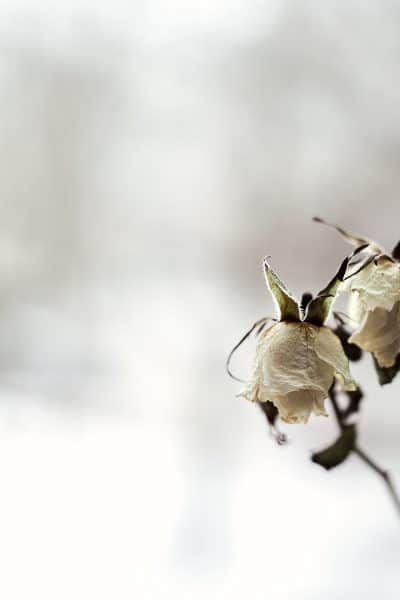 Dying white roses on a defocused dramatic background. broken heart, depression, romantic mood. vintage look.